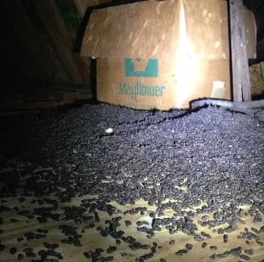Bat Removal Boston Ma Providence Ri Free Bat Control