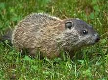 woodchuck removal company cape cod massachusetts and woonsocket ri