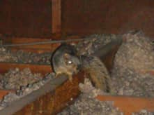 squirrel removal company massachusetts and rhode island
