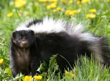 skunk removal company massachusetts and rhode island
